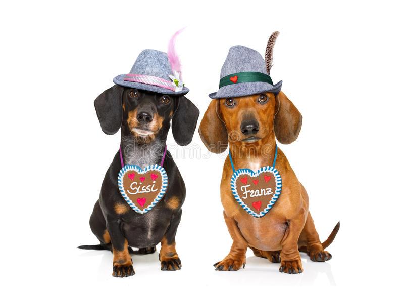Bavarian beer dachshund sausage dogs , couple of two. Bavarian dachshund or sausage dogs couple with gingerbread and mug isolated on white background , ready for royalty free stock photography