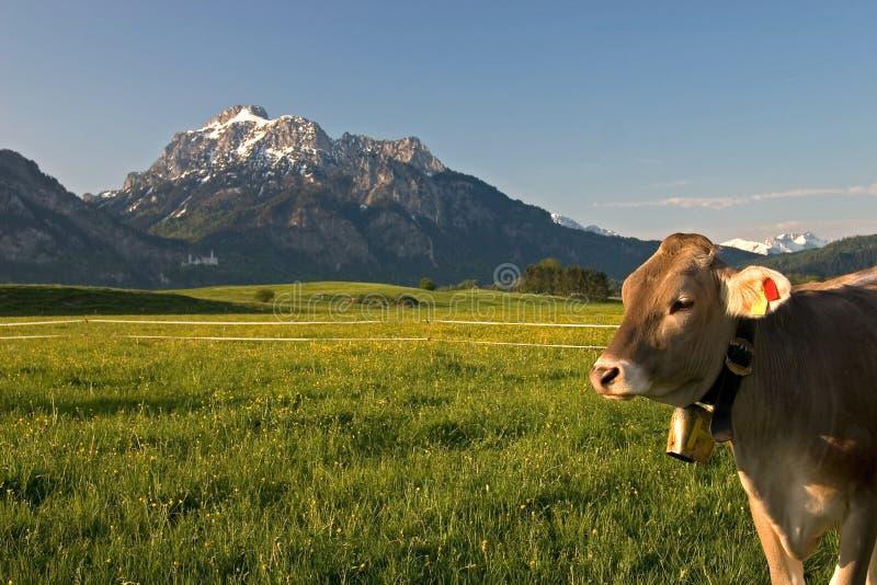 Bavarian calf royalty free stock image