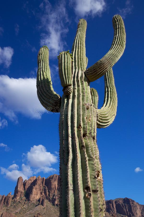Arizona desert saguaro cactus stock photo