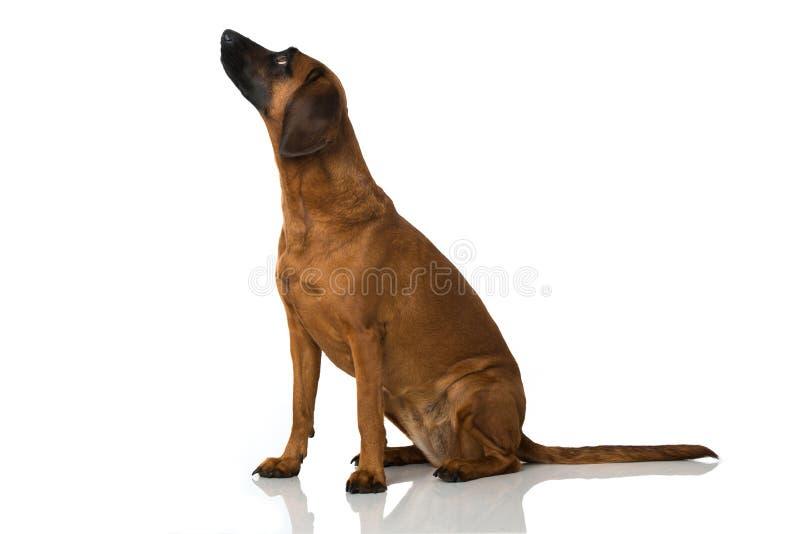Bavarian mountain dog. Isolated on white royalty free illustration