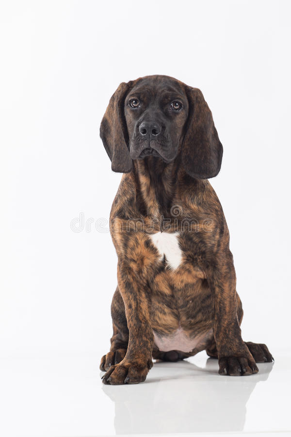 Download Hunting Dog Royalty Free Stock Image - Image: 38077346