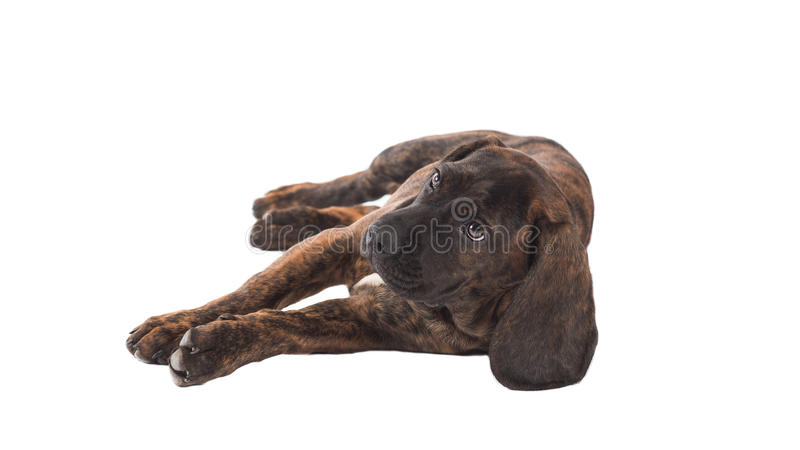 Download Hunting dog stock photo. Image of hound, brindled, purebred - 38079374