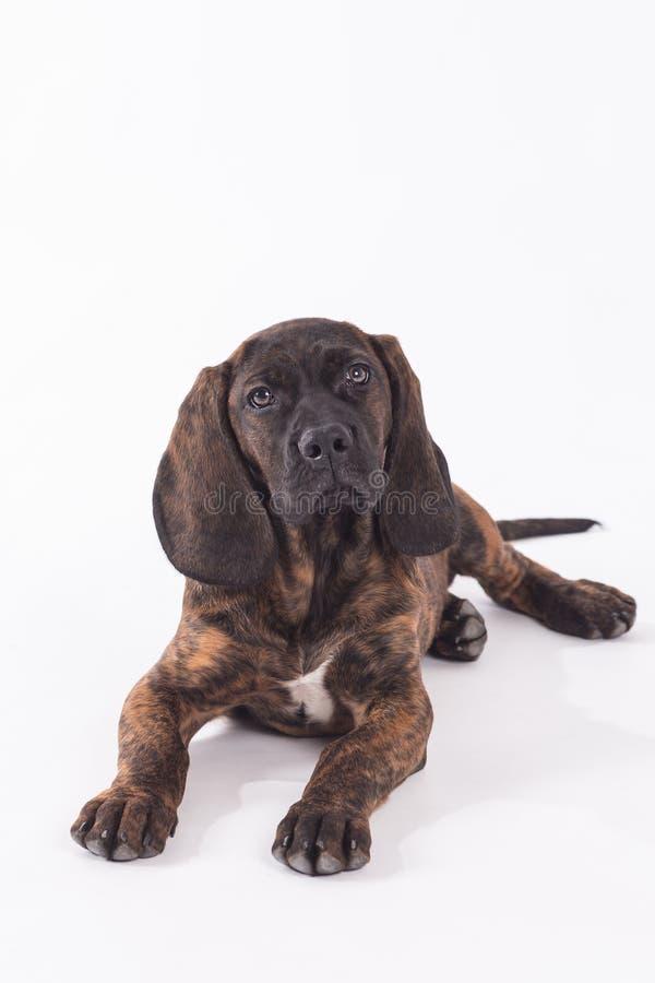 hunting dog stock image