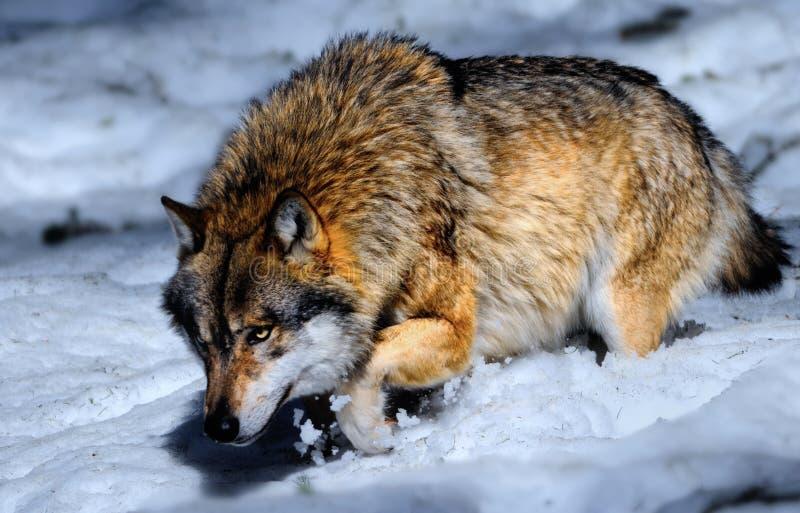bavarian wilk lasowy śnieżny zdjęcie stock