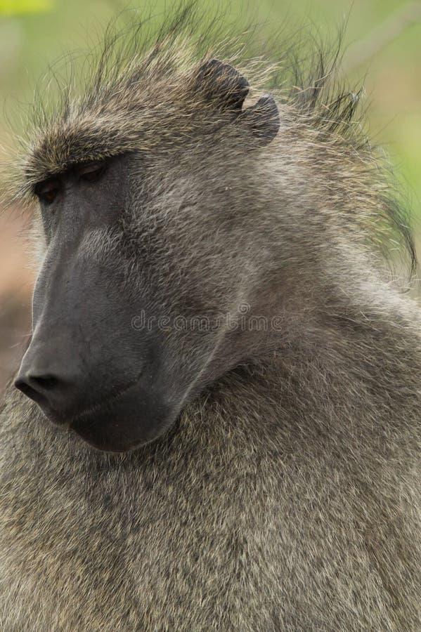 baviaan stock afbeeldingen
