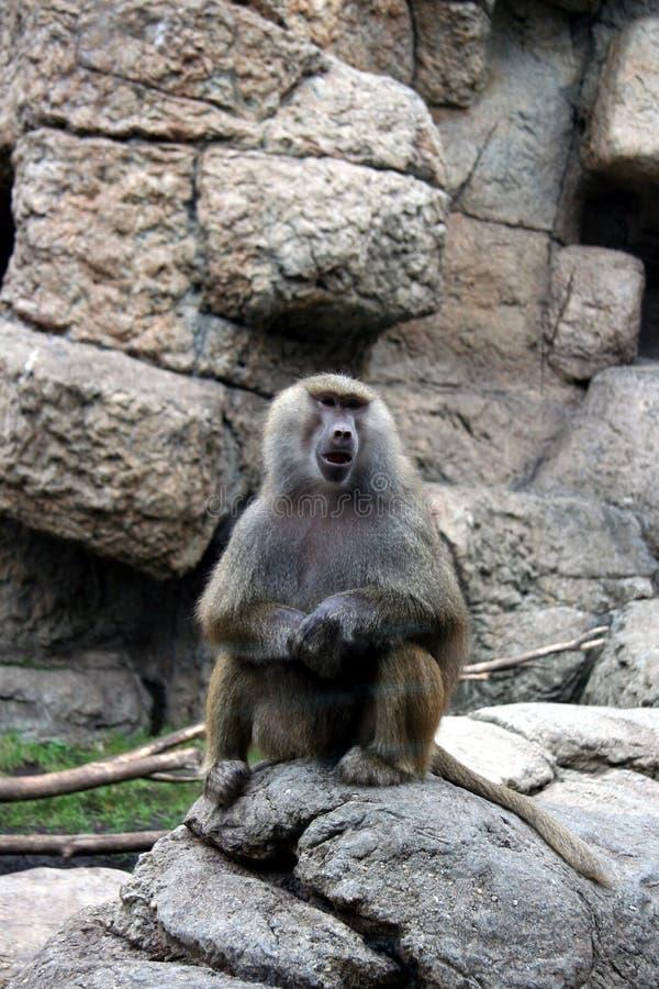 Baviaan bij dierentuin stock fotografie