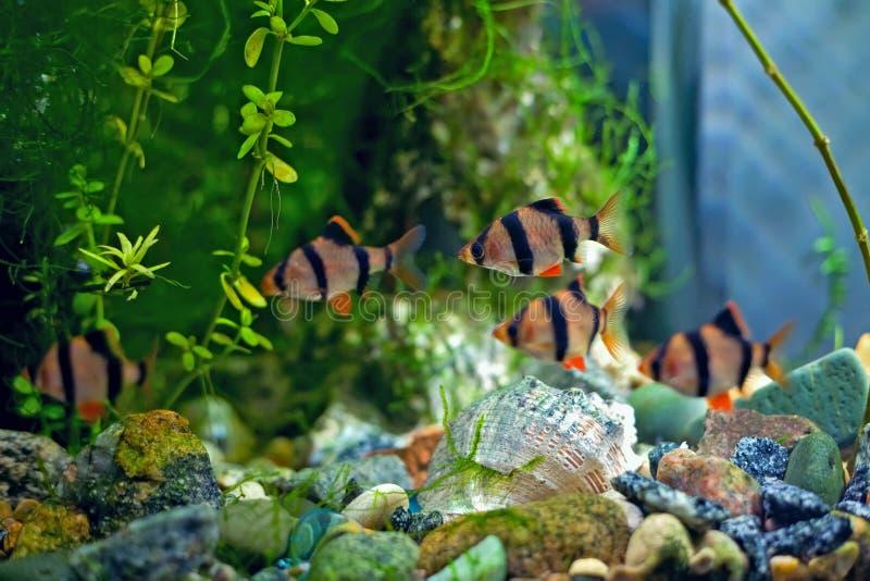 Bavure a de tigre dans l'aquarium photos libres de droits