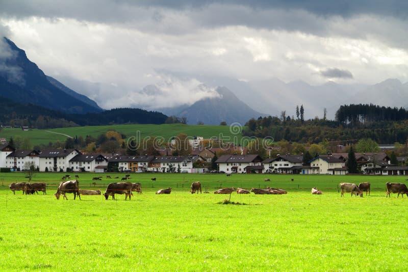 Bawarski bydło uprawia ziemię wiejską scenerię obraz royalty free