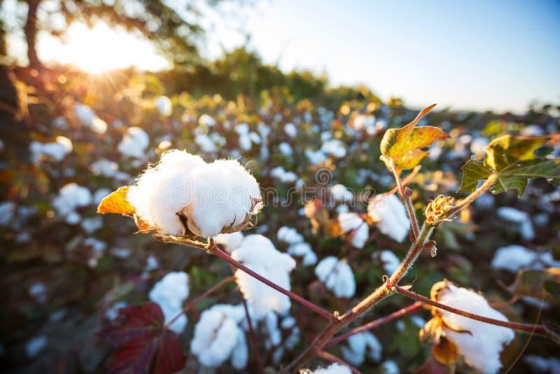 bawełna fotografia stock