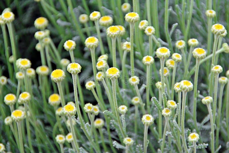 bawełniana lawendowa roślina zdjęcie royalty free