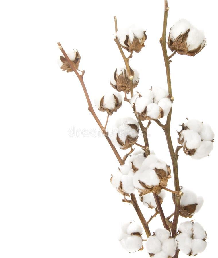 Bawełniana Roślina Obrazy Royalty Free