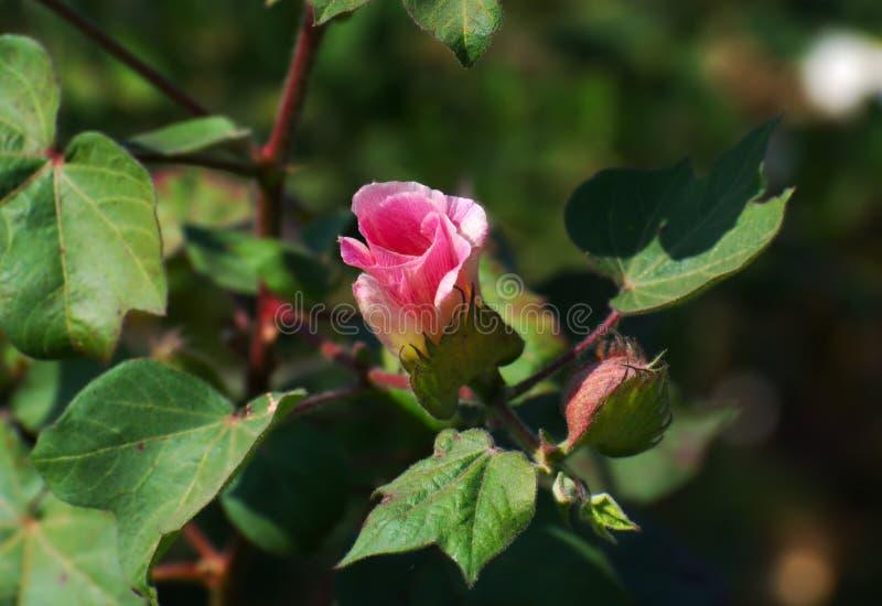 Bawełniana roślina i kwiat zdjęcie stock