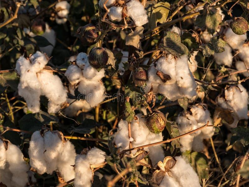 Bawełniana roślina w Mohave dolinie obrazy stock