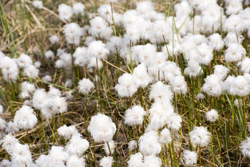 Bawełniana trawa w Arktycznym zdjęcie stock