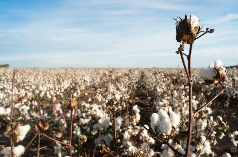 Bawełnianego Boll Rolnego pola Teksas rolnictwa Gotówkowa uprawa obraz royalty free