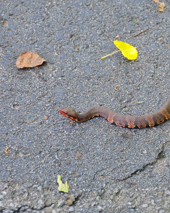 Bawełnianego usta wodnej kierpec jamy żmii węża Agkistrodon piscivo zdjęcia stock