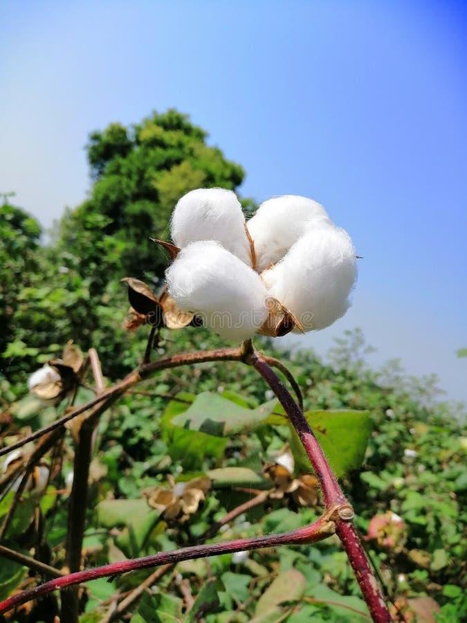 Bawełnianej rośliny Pundżab region, India zdjęcie royalty free