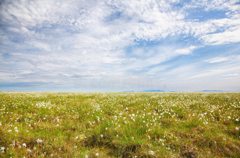 Bawełnianej trawy tundra obrazy royalty free