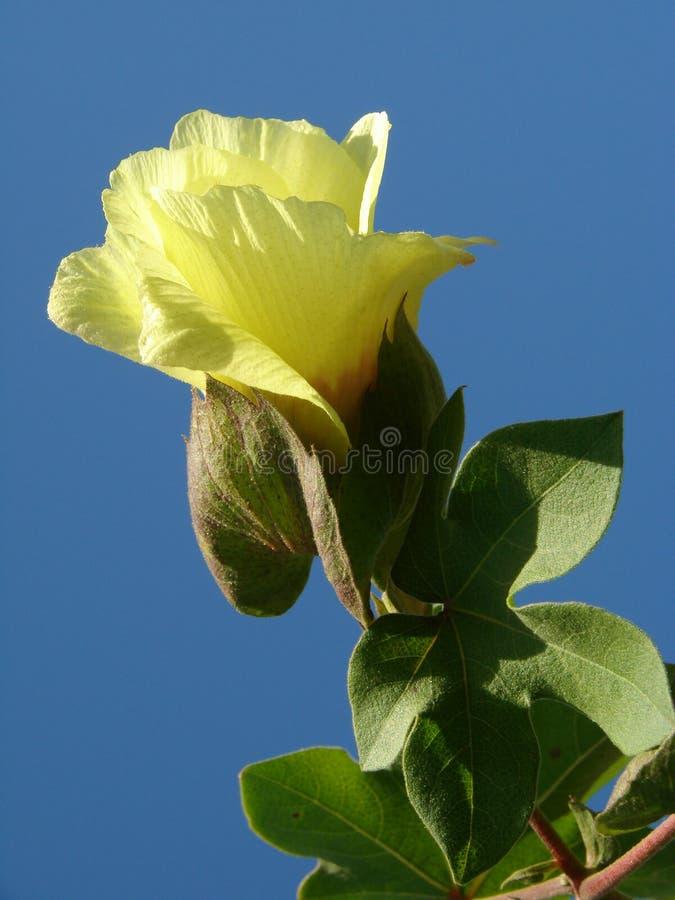 bawełniany kwiat zdjęcie stock
