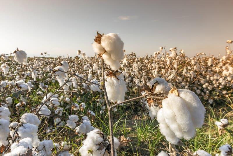 Bawełniany pole w Adana, Turcja obrazy stock