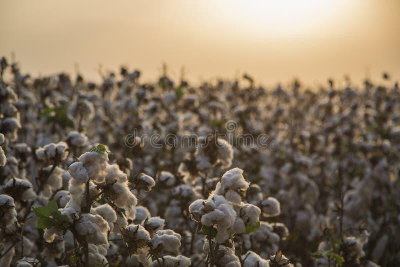 Bawełny pole obrazy stock