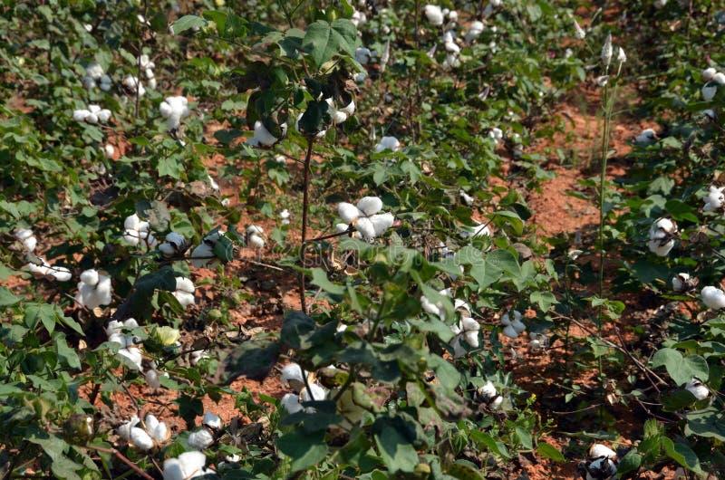Download Bawełniana uprawa obraz stock. Obraz złożonej z kwiat - 28766301