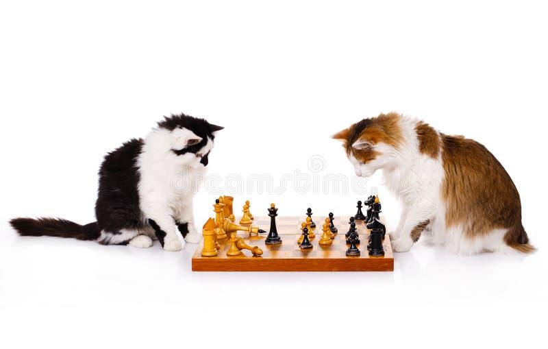 bawić się dwa kota szachy obraz royalty free