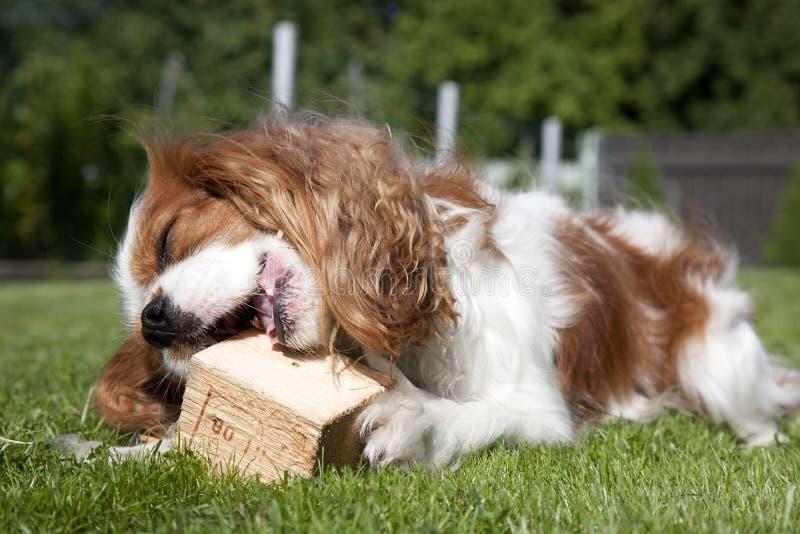 Bawić się szczeniaka z drewnianym kawałkiem obrazy royalty free