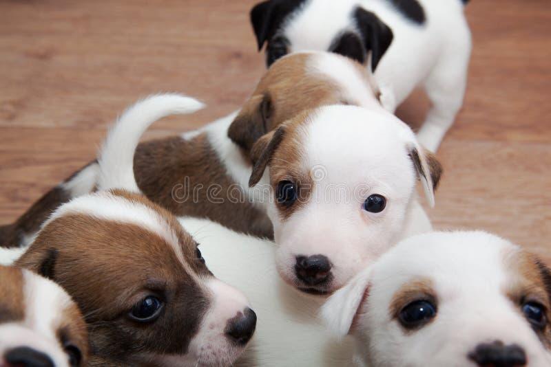 Download Bawić się szczeniaki zdjęcie stock. Obraz złożonej z pies - 53783460