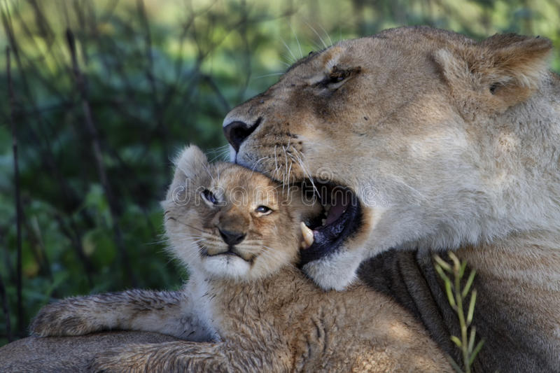 Bawić się z matką lwa lisiątko, Serengeti zdjęcie royalty free