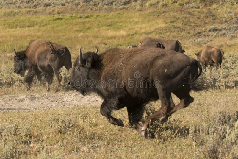 Bawoli żubra bieg w Lamar dolinie Yellowstone zdjęcia stock
