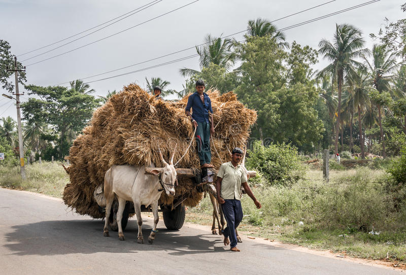 Bawoli fura transport foluje zdjęcie royalty free