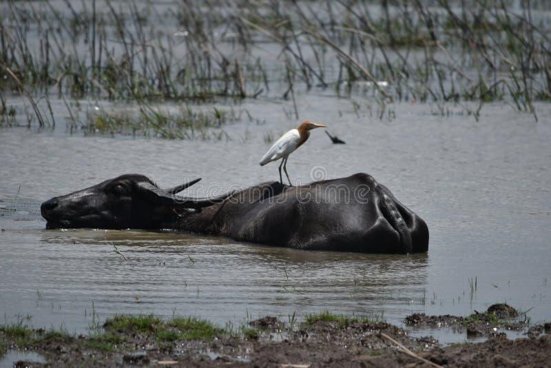 Bawoli wodnego bizonu Asia Thailand bydlęcia zwierzę zdjęcia stock