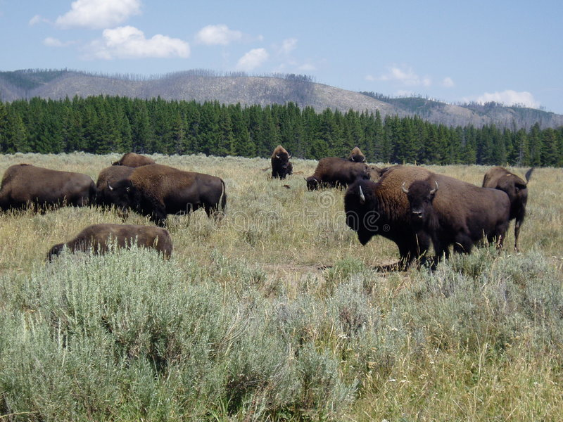bawoli Yellowstone obrazy royalty free