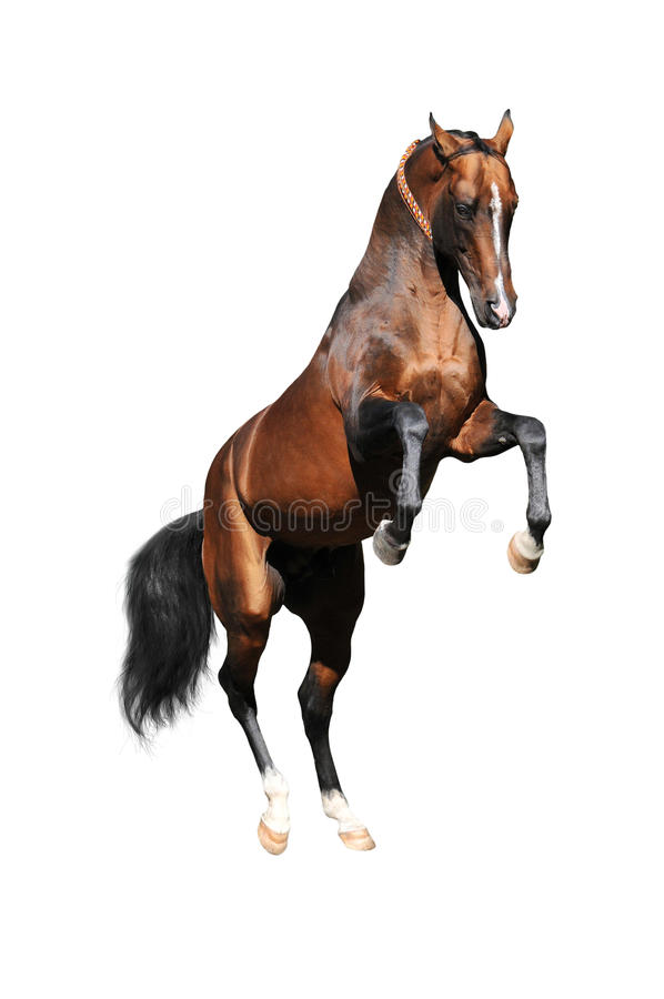 Bay Akhal-teke Stallion Rearing, Isolated On White Royalty Free Stock Photos