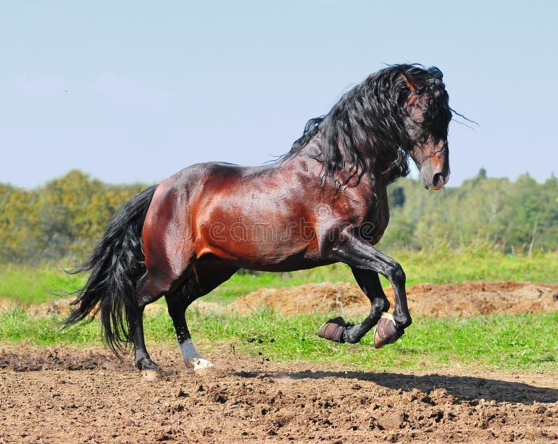 Bay andalusian horse stallion royalty free stock image