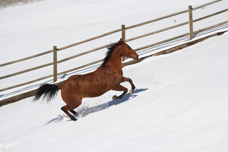 Bay appendix quarter horse running in the snow. stock photos