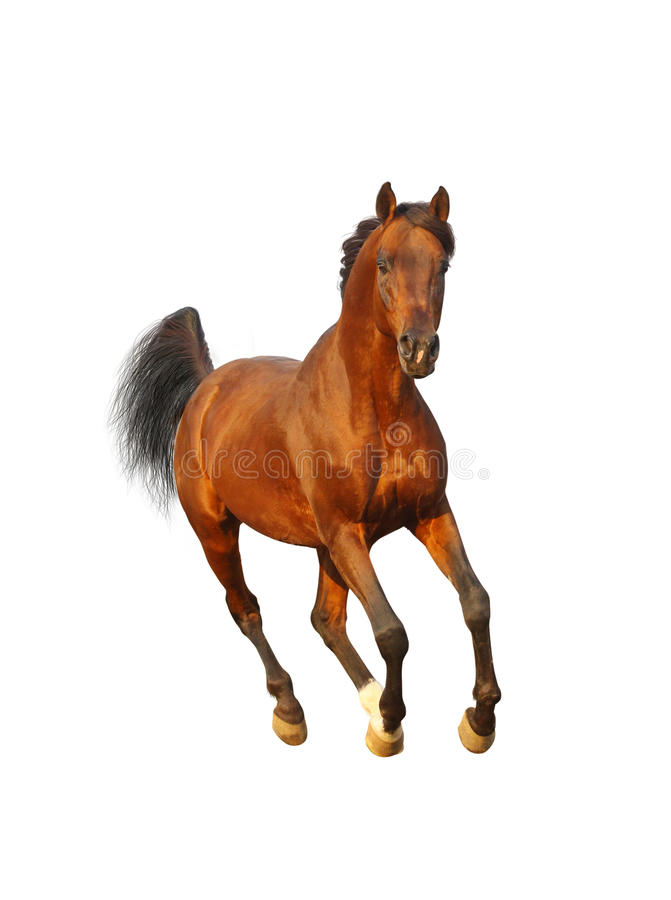 Download Bay arab stallion stock image. Image of nature, freedom - 23645787