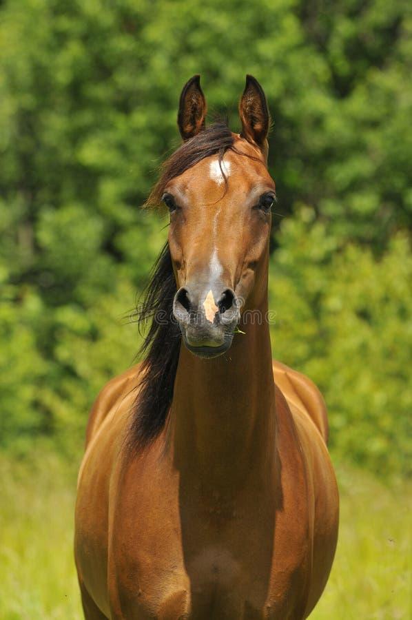 Download Bay arabian horse portrait stock photo. Image of animal - 10129790
