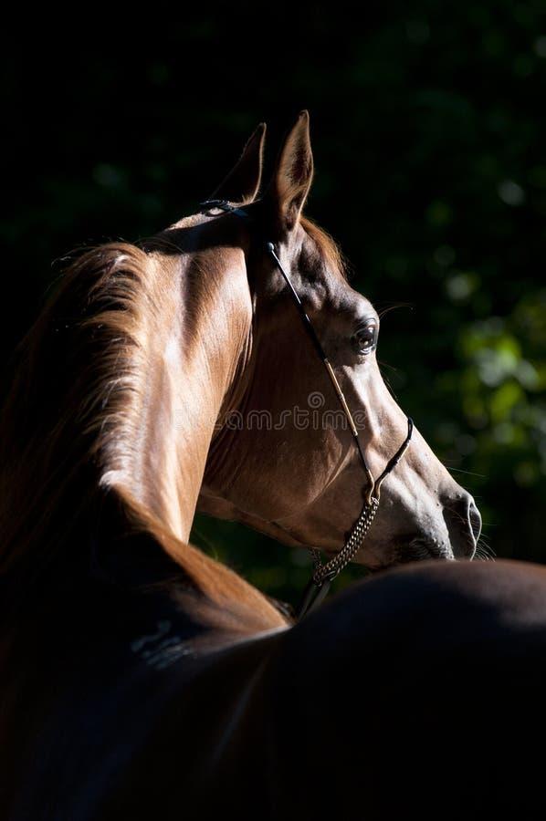 Bay arabian horse portrait