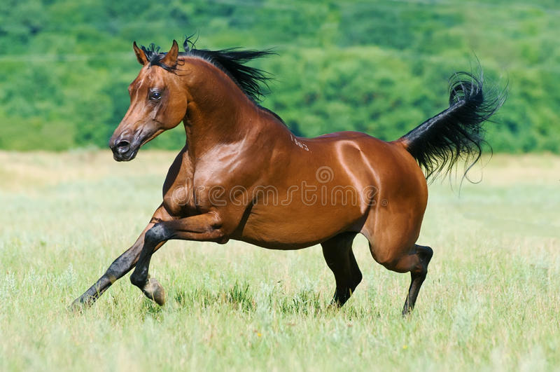 Bay arabian horse runs gallop stock image