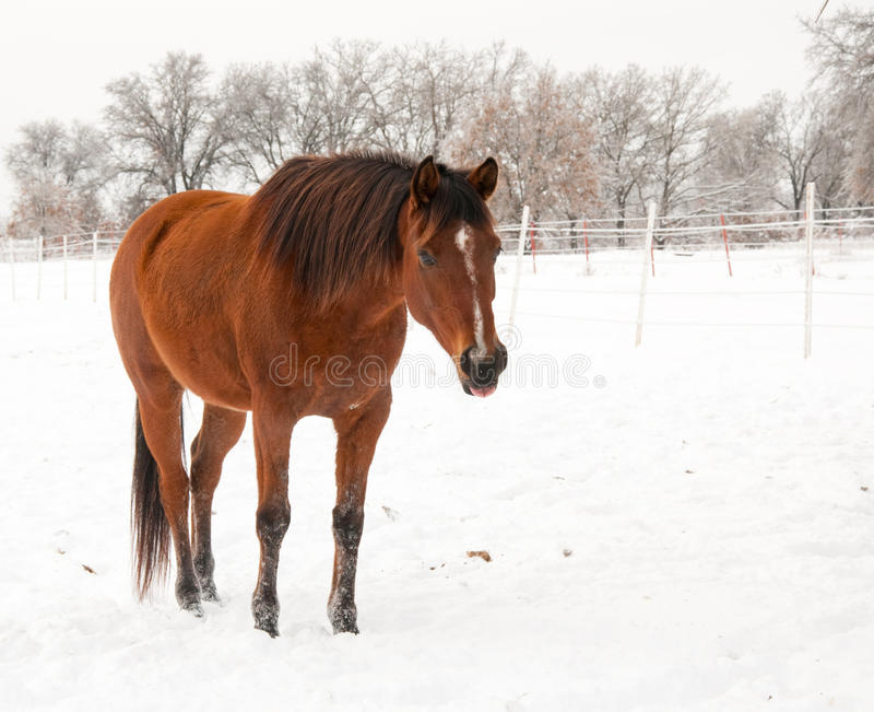 Bay Arabian mare standing in snow,