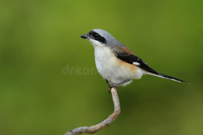 Bay-backed shrike (Lanius vittatus) funny brown back, black wing. S and fine grey head bird with puffy hair while perching on branch over green stock image