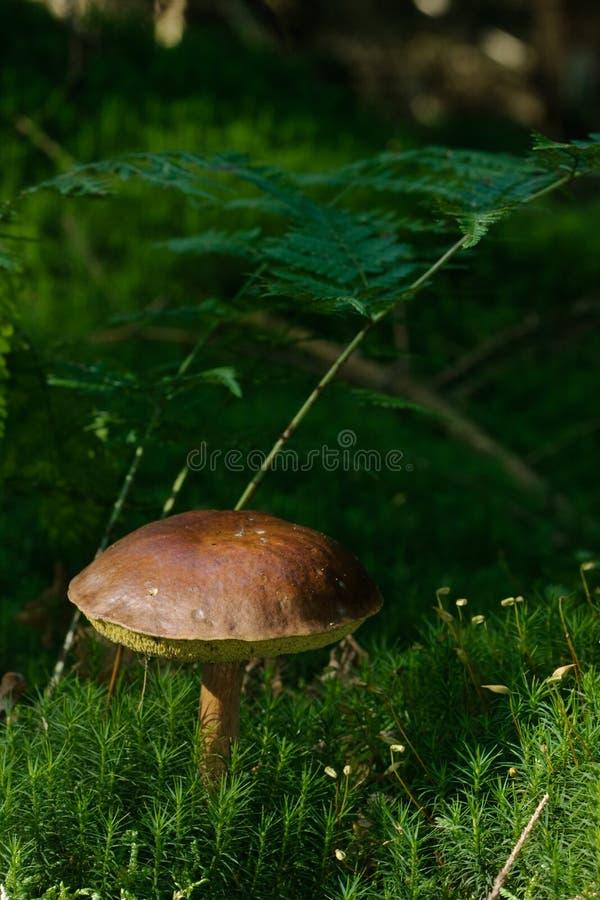 Download Bay Bolete stock image. Image of badius, ferns, forest - 16453813