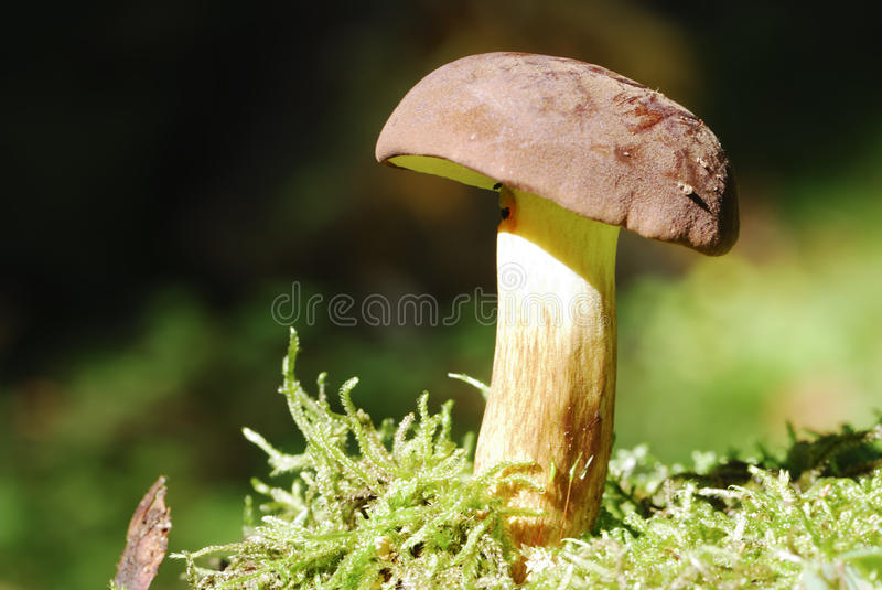 Download Bay Bolete stock photo. Image of fungus, fresh, brown - 27863352