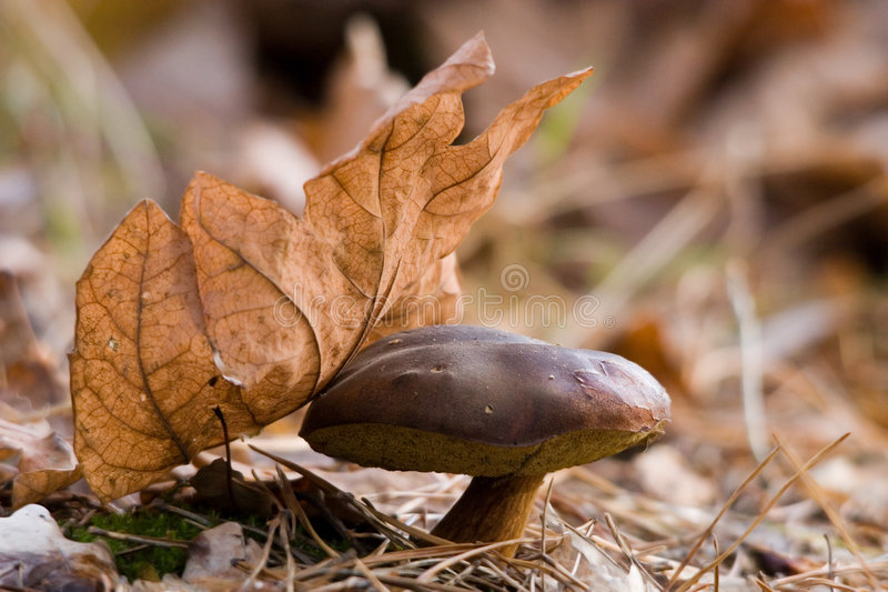 Download The Bay bolete stock photo. Image of fungus, forest, boletus - 7321966