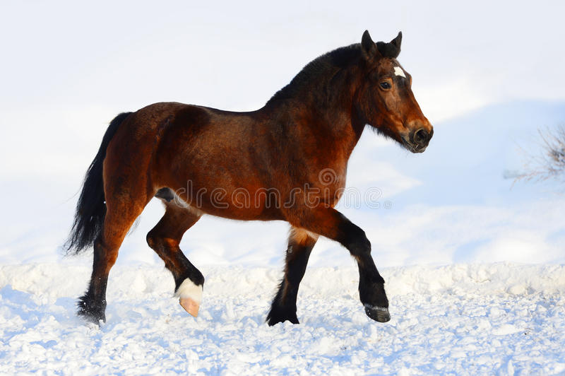 Bay draft horse portrait in motion in winter. Bay draft horse portrait in motion stock photography
