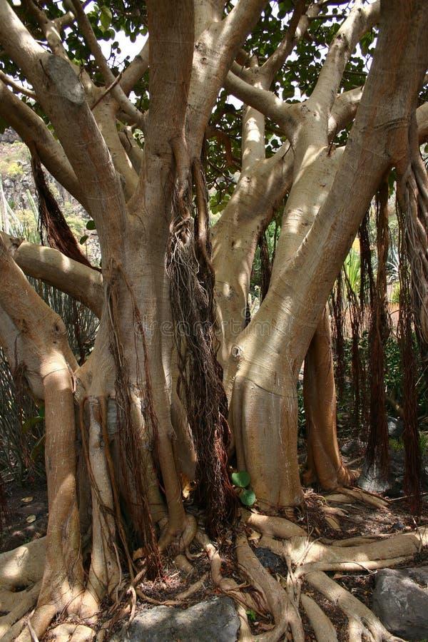 bay drzewo figowe obrazy royalty free