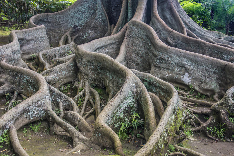 Bay Fig tree roots royalty free stock image