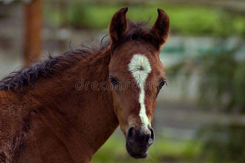 Download Bay foal head shot stock image. Image of fenced, rural - 7152531